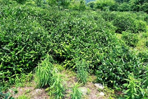 茶叶生产基地