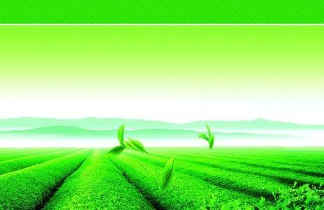 茶叶低位嫁接换种及培育技术