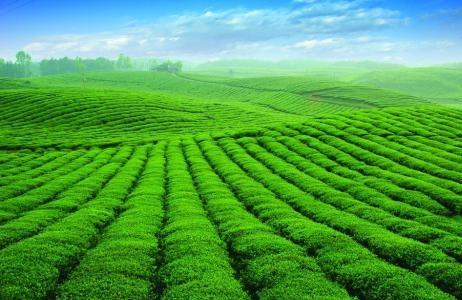 夷陵茶业跨入科技快车道
