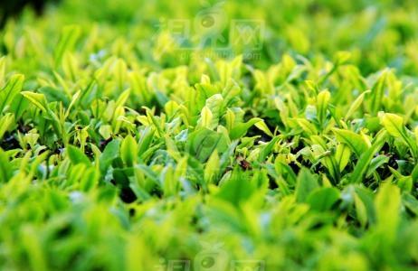 安溪茶业职业技术学校进行制茶比赛